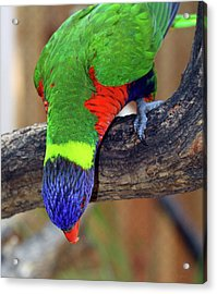 Rainbow Lorikeet Acrylic Print by Inspirational Photo Creations Audrey Woods