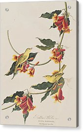 Rathbone Warbler Acrylic Print by John James Audubon