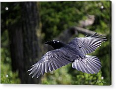 Raven Flight Acrylic Print