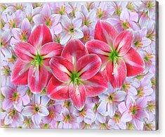 Red Amaryllis Acrylic Print by Edwin Verin