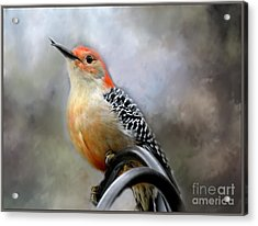 Red-bellied Woodpecker Acrylic Print by Brenda Bostic