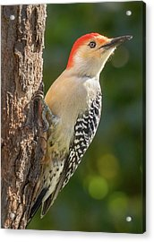 Red Bellied Woodpecker Acrylic Print by Jim Hughes