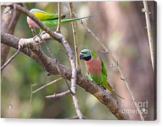 Red-breasted Parakeets, India Acrylic Print