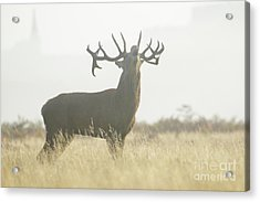 Red Deer Stag - Cervus Elaphus - Bellowing Or Roaring On A Misty M Acrylic Print