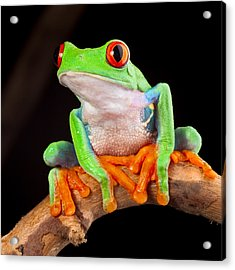 Red Eyed Tree Frog Acrylic Print