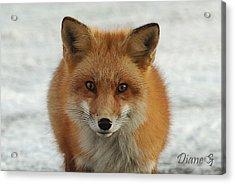 Red Fox Acrylic Print by Diane Giurco