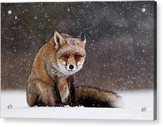 Red Fox Sitting In The Snow Acrylic Print
