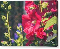 Red Hollyhock Acrylic Print by Cheryl Baxter
