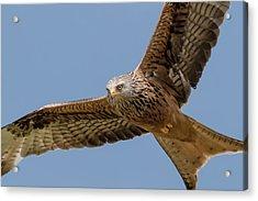 Red Kite Acrylic Print
