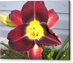 Red Lily Acrylic Print by Tina Antoniades