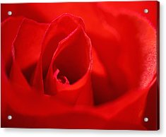 Red Rose Acrylic Print by Svetlana Sewell