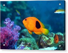 Red Saddleback Anemonefish And Soft Coral Acrylic Print by Georgette Douwma