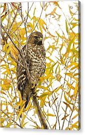 Red-shouldered Hawk Acrylic Print by Doug Herr