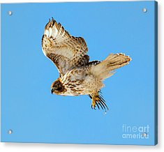 Red-tail Flight Acrylic Print by Mike Dawson