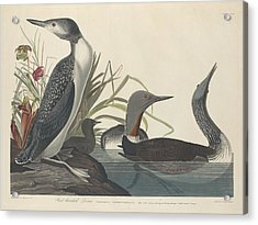 Red-throated Diver Acrylic Print