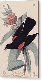 Red Winged Blackbird Acrylic Print by John James Audubon