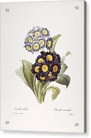 Redoute: Auricula, 1833 Acrylic Print by Granger