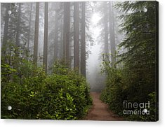 Redwood Grove Acrylic Print
