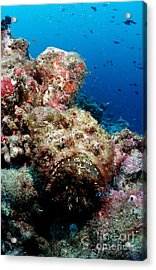 Reef Stonefish Acrylic Print by Reinhard Dirscherl