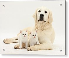 Retriever With Friendly Kittens Acrylic Print by Mark Taylor