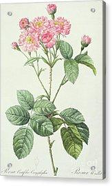 Rosa Centifolia Caryophyllea Acrylic Print