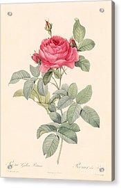 Rosa Gallica Pontiana Acrylic Print