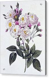 Rosa Noisettiana Acrylic Print