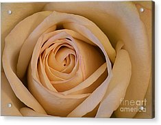 Rose Acrylic Print by Adrian LaRoque