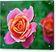 Rose Acrylic Print by Bill Barber