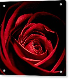 Rose I Acrylic Print by Andreas Freund