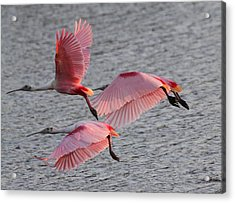 Roseate Spoonbill Acrylic Print by Jeanne Andrews
