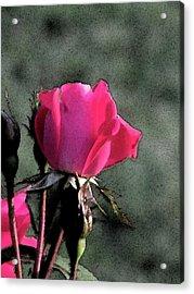 Rosebud Acrylic Print by Michele Caporaso
