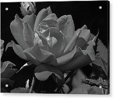 Rosey Bloom Acrylic Print