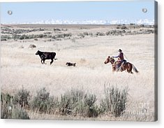 Round Up Acrylic Print by Cindy Singleton