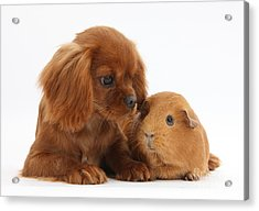 Ruby Cavalier King Charles Spaniel Pup Acrylic Print