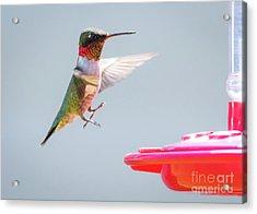 Ruby-throated Hummingbird  Acrylic Print by Ricky L Jones