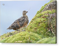 Rufous-bellied Seedsnipe In Ecuador Acrylic Print by Juan Carlos Vindas