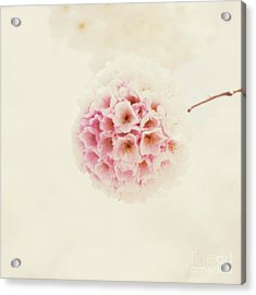 Sakura Acrylic Print by Starfish Media