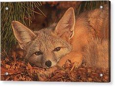San Joaquin Kit Fox  Acrylic Print