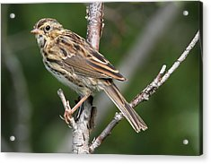 Savannah Sparrow Acrylic Print by Doug Lloyd