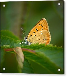Acrylic Print featuring the photograph Scarce Copper by Jouko Lehto
