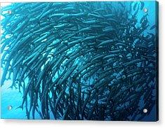 School Of Barracudas Underwater Acrylic Print by MotHaiBaPhoto Prints
