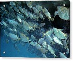 School Of Fish Acrylic Print by Joann Shular