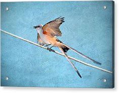Scissor-tailed Flycatcher Acrylic Print by Betty LaRue