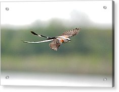 Scissor-tailed Flycatcher In Flight Acrylic Print