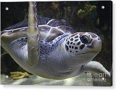Sea Turtle Up Close Acrylic Print by Paulette Thomas