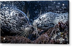Seal Pup With Mom Acrylic Print