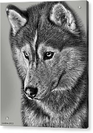 Siberian Husky 2 Acrylic Print