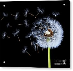 Silhouettes Of Dandelions Acrylic Print