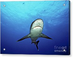 Silvertip Shark Acrylic Print by Dave Fleetham - Printscapes